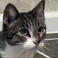 Domestic Shorthair Cat for adoption in Tyler, Texas - TG-Erika