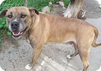 Mastiff Mix Dog for adoption in Sterling Heights, Michigan - Chowder