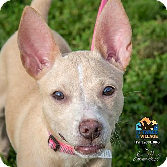 bull terrier chihuahua mix evansville in chihuahua pit bull terrier mix meet almond a puppy for adoption 2796