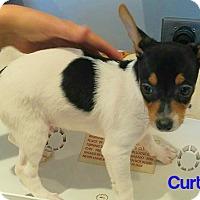 Adopt A Pet :: Curt - House Springs, MO