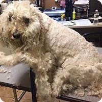 Adopt A Pet :: Goldie-NO EYES:( - Oak Ridge, NJ