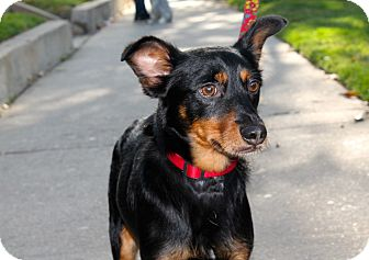 Spaniel (Unknown Type)/Miniature Pinscher Mix Dog for adoption in Los Angeles, California - Iggy Bear