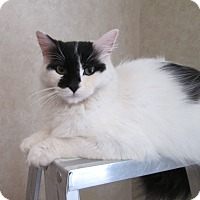 Turkish Van Cat for adoption in San Bernardino, California - Izzy