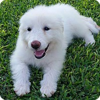 Adopt A Pet :: Rosie - Kyle, TX