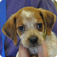 Adopt A Pet :: Barney - Atlanta, GA