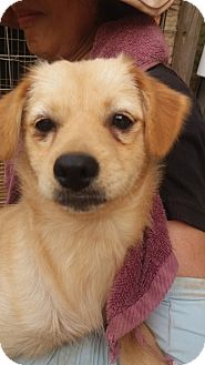 Spitz (Unknown Type, Small) Mix Puppy for adoption in Oakton, Virginia - Wendy