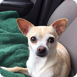 Chihuahua Dog for adoption in Ardmore, Oklahoma - Sugar