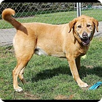 Adopt A Pet :: Buddy Lab - Courtesy Listing - Rootstown, OH