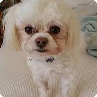 Adopt A Pet :: Loki - Windermere, FL