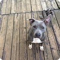 American Pit Bull Terrier Mix Dog for adoption in Wartrace, Tennessee - Jen