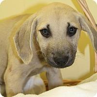 Adopt A Pet :: Dara - Waldorf, MD