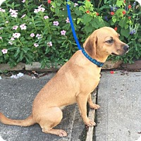 Beagle Mix Dog for adoption in Providence, Rhode Island - Lillith CG in MS