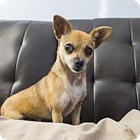 Adopt A Pet :: Truffles - Seattle, WA