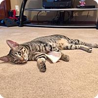 Adopt A Pet :: Guglielmo - Troy, IL