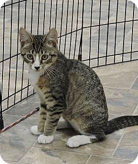 Domestic Shorthair Kitten for adoption in Massapequa, New York - Meredith