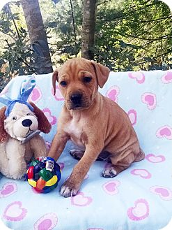 Shar Pei/Boxer Mix Puppy for adoption in Marion, North Carolina - Smartie