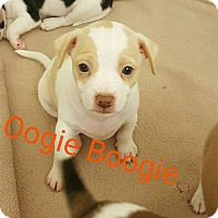 Rat Terrier Mix Puppy for adoption in joliet, Illinois - Oogie Boogie