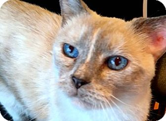 Snowshoe Cat for adoption in Brooklyn, New York - Suede, beautiful sweet kitty wants all the petting