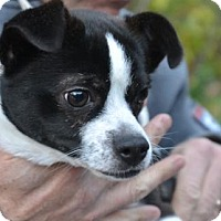 Rat Terrier/Chihuahua Mix Dog for adoption in Washington, D.C. - Dino (Has Application)