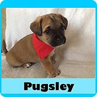 Adopt A Pet :: Pugsley - Medford, NJ