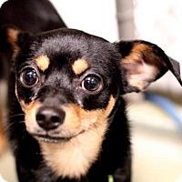 Adopt A Pet :: THUNDER - Boston, MA