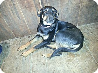 Shepherd (Unknown Type)/Blue Heeler Mix Puppy for adoption in Linton, Indiana - Rosie
