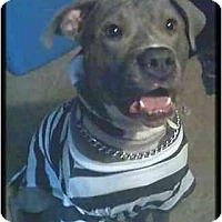 Adopt A Pet :: Koda Girl - Raymond, NH