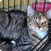 Adopt A Pet :: Shelbie - Island Park, NY