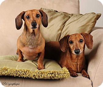 Dachshund Dog for adoption in Henderson, Nevada - Eddie