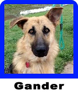German Shepherd Dog Dog for adoption in Wichita Falls, Texas - Gander