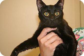 Domestic Shorthair Cat for adoption in Wildomar, California - Jasmine