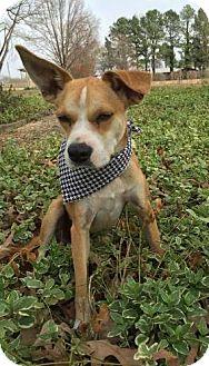 Boxer Mix Dog for adoption in Little Rock, Arkansas - Harley