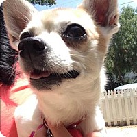 Adopt A Pet :: Suzie Q - Encino, CA