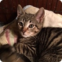 Domestic Shorthair Kitten for adoption in Delmont, Pennsylvania - Keanu