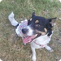 Adopt A Pet :: A382191    Piper - San Antonio, TX