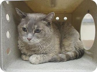 Domestic Shorthair Cat for adoption in Reno, Nevada - ABBY