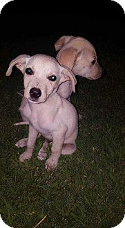 Great Pyrenees/Shepherd (Unknown Type) Mix Puppy for adoption in Broken Arrow, Oklahoma - Dippy