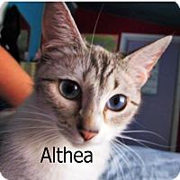 Siamese Cat for adoption in Wichita Falls, Texas - Althea