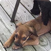 Adopt A Pet :: Baby Girl - Tenafly, NJ