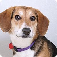 Adopt A Pet :: Mia - Sudbury, MA