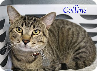 Domestic Shorthair Cat for adoption in Bradenton, Florida - Collins