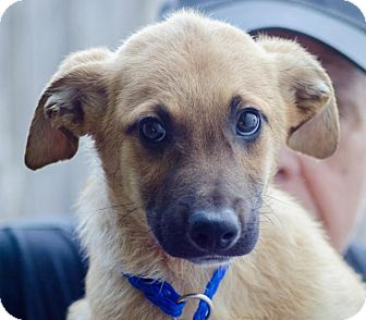 Shepherd (Unknown Type) Mix Puppy for adoption in Enfield, Connecticut - Silas