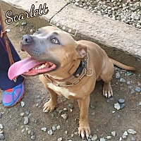 Pit Bull Terrier Mix Dog for adoption in Valley Center, California - Scarlett