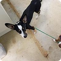 Adopt A Pet :: Padme - New Braunfels, TX