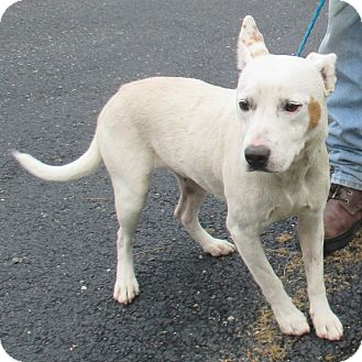 Blue Heeler/Bulldog Mix Dog for adoption in Reeds Spring, Missouri - Joy