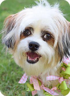 Shih Tzu Mix Dog for adoption in Colorado Springs, Colorado - Roxy