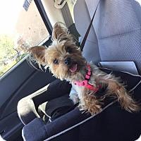 Adopt A Pet :: Fergie - Goodyear, AZ