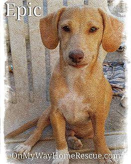Dachshund Mix Puppy for adoption in Henderson, Nevada - Epic