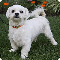 Shih Tzu Mix Dog for adoption in Newport Beach, California - KELLY