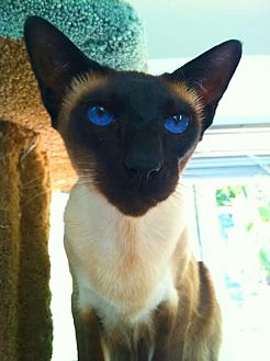 Siamese Cat for adoption in El Cajon, California - Bluie - Very Handsome Siamese!